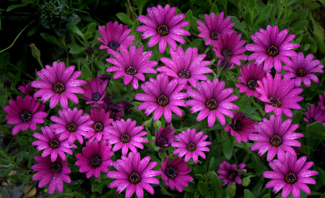 East growing African daisy